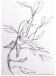 Drawing of gumleaves